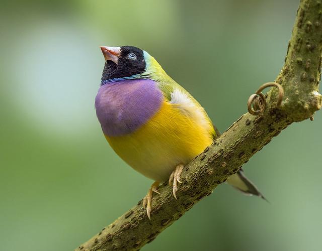 Gouldian Finch, Wings of the Tropics, Fairchild Tropical Botanic Garden.