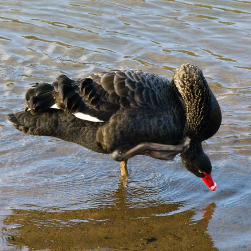 Black swan preening, Bridgnorth