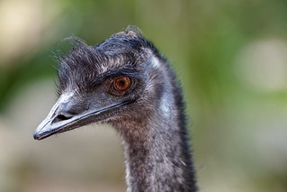 Emu | by Joe Lewit
