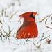 IMG_2708 red cardinal