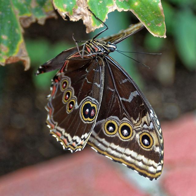 Orléans (Loiret) - Parc floral de la Source - Serre aux papillons - Morpho