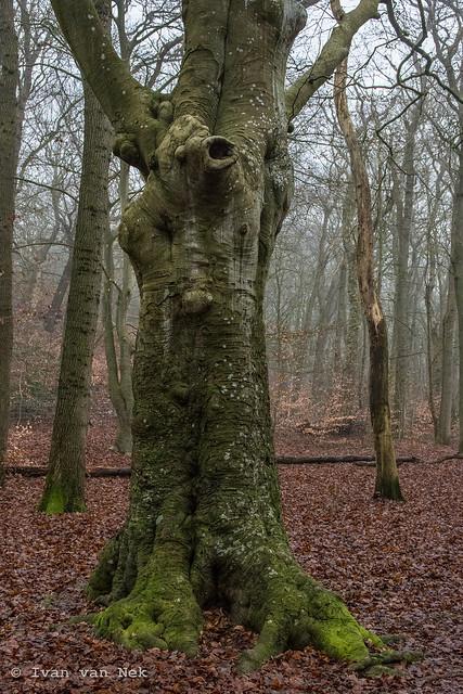Howling bear climbing a tree