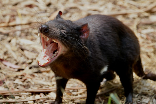 Tasmanian Devil yawning | by Joe Lewit