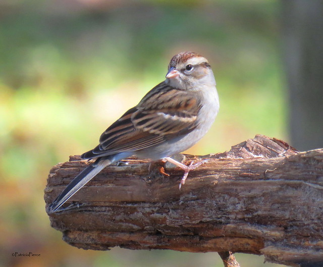 chipping sparrow12