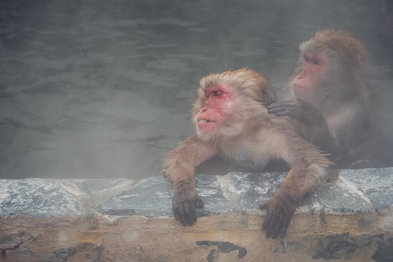 日本猴|溫泉猴 Hokkaido