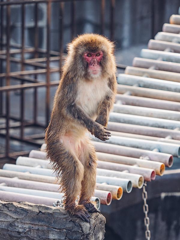日本猴|Hokkaido
