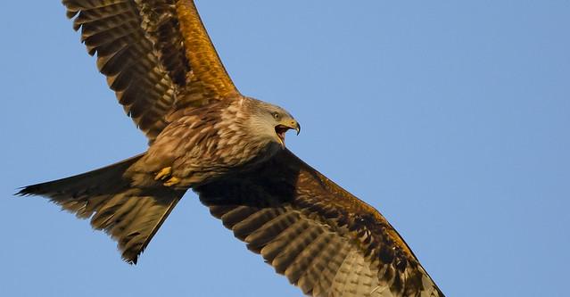 Hark! The Red Kite Sings!
