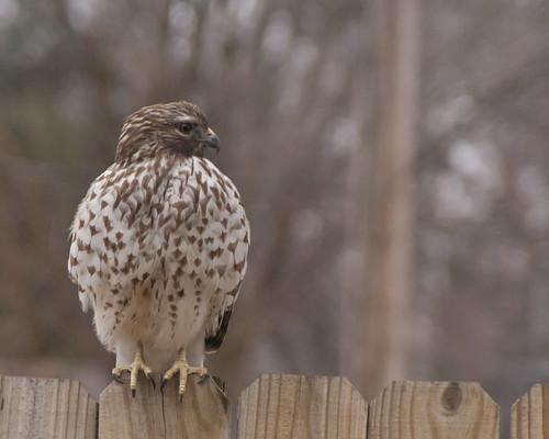 hawk fence city cloudymorning bird raptor springfield mo