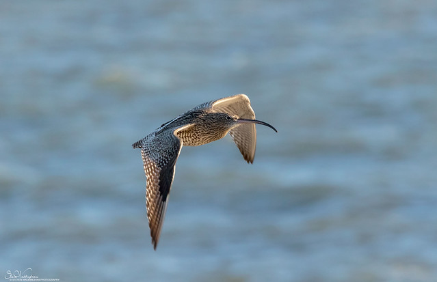 Curlew on the wing