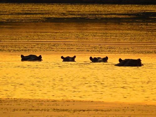 hippo hippopotamus hippopotamuses wildlife inthewild amboseli kenya ke africa africansafari lake sunset gold golden silhouette ears partlysubmerged shimmer shimmering p900 coolpixp900 nikoncoolpixp900 jennypansing amboselinationalpark nationalpark