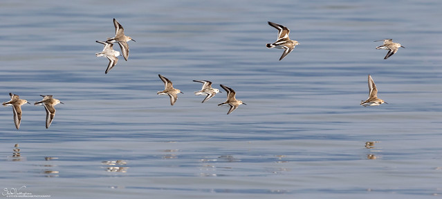 Waders on the wing