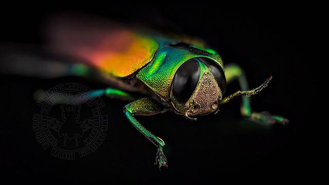 Belionota tricolor