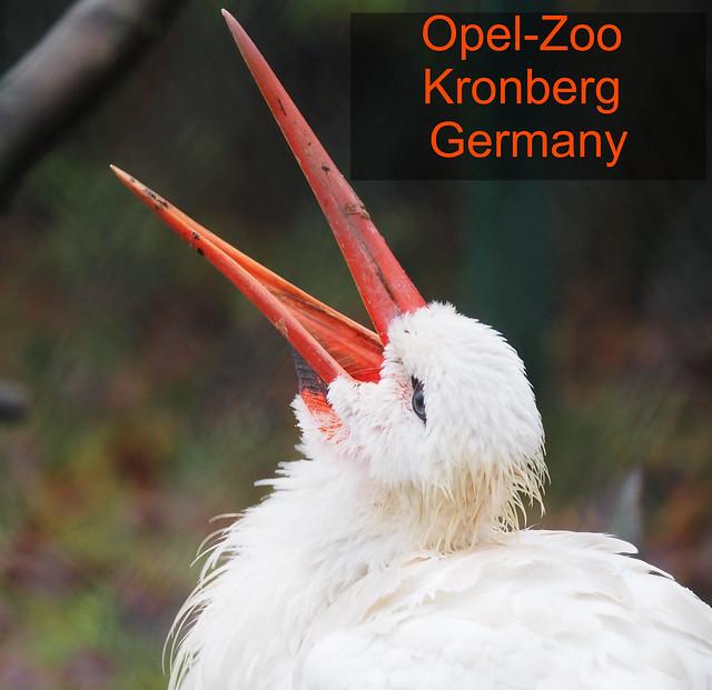 White Stork in the Opel Zoo in Germany, near Frankfurt in the Taunus Hills