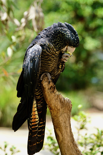 Red-tailed black cockatoo | by Joe Lewit