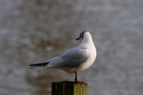 Early breeding plumage on gull