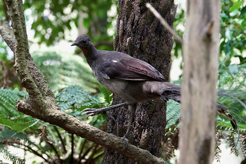 Young male lyrebird perching | by Joe Lewit