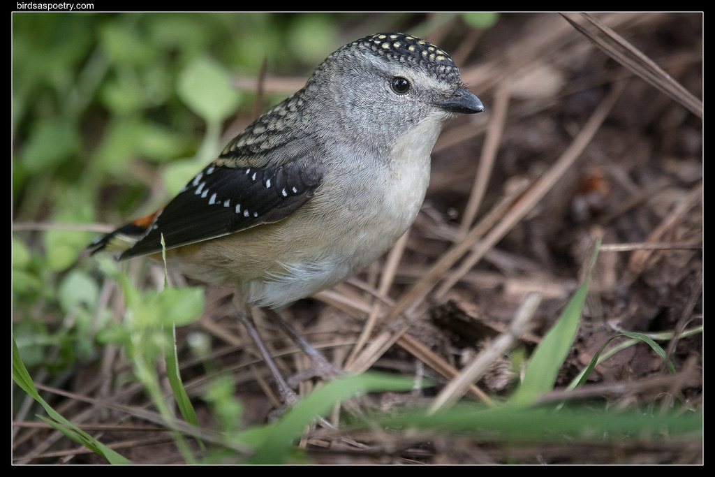 Spotted Pardalote: Where is the front door?