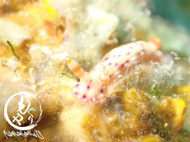 可愛い色合いのセンテンイロウミウシ