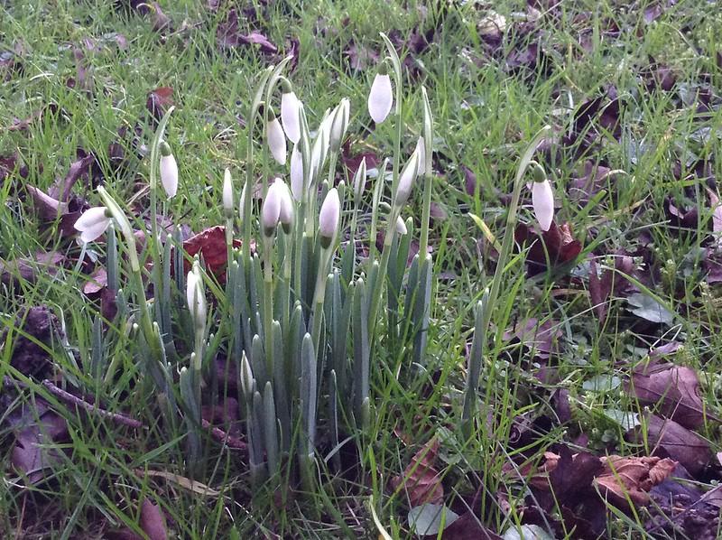 Sunrise, Mistletoe, Snowdrops: Snowdrops