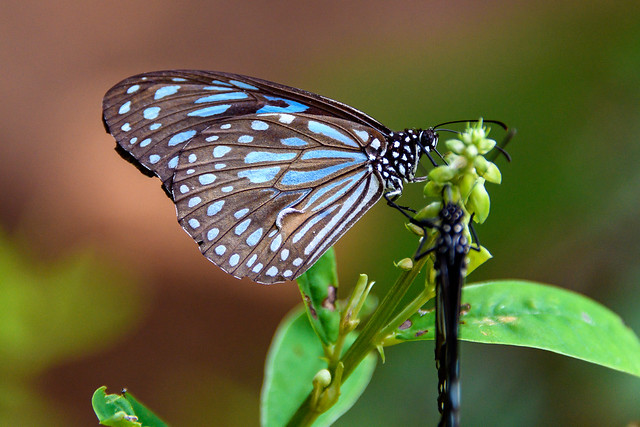 India - Kerala -Butterfly - 2283