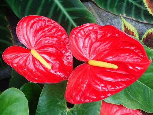 anthurium flowers red wellington 022551 rx100m6 rot farbig farbenfroh flower flora fleur indoor plants pflanzen plant pflanze bright newzealand begoniahouse nature natur