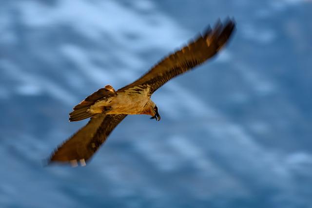 Quebrantahuesos (Gypaetus barbatus)