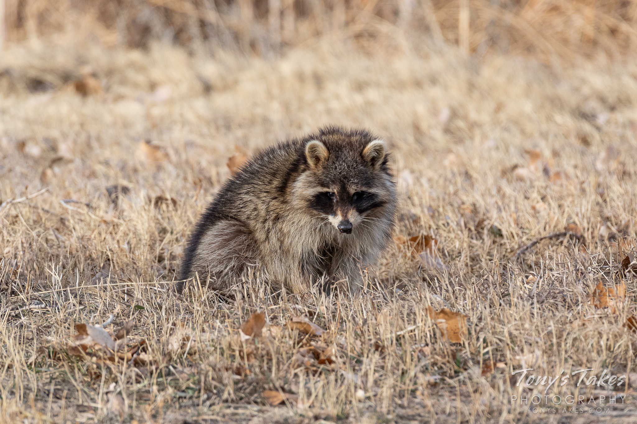 A raccoon hangs out during the day in Colorado. (© Tony's Takes)
