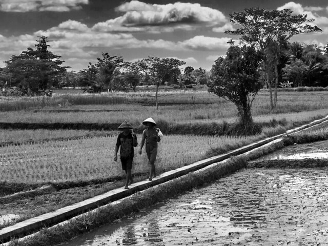 Street Photography in a rice field
