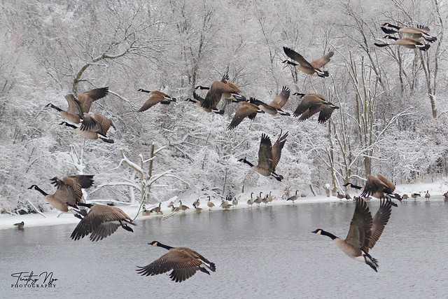 Canada geese on a snowing and extremely cold day