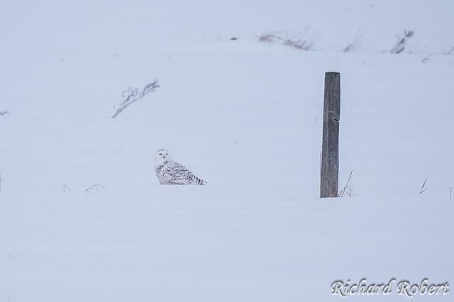 Harfang des neiges / Snowy Owl / 07 janvier 2020 P1005927-V.jpg