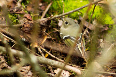 ruby crowned kinglet 8688