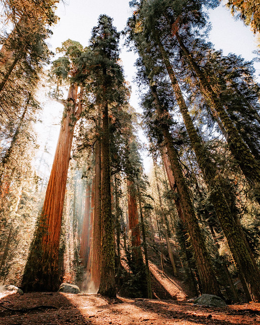 Early morning among the giants in Kings Canyon