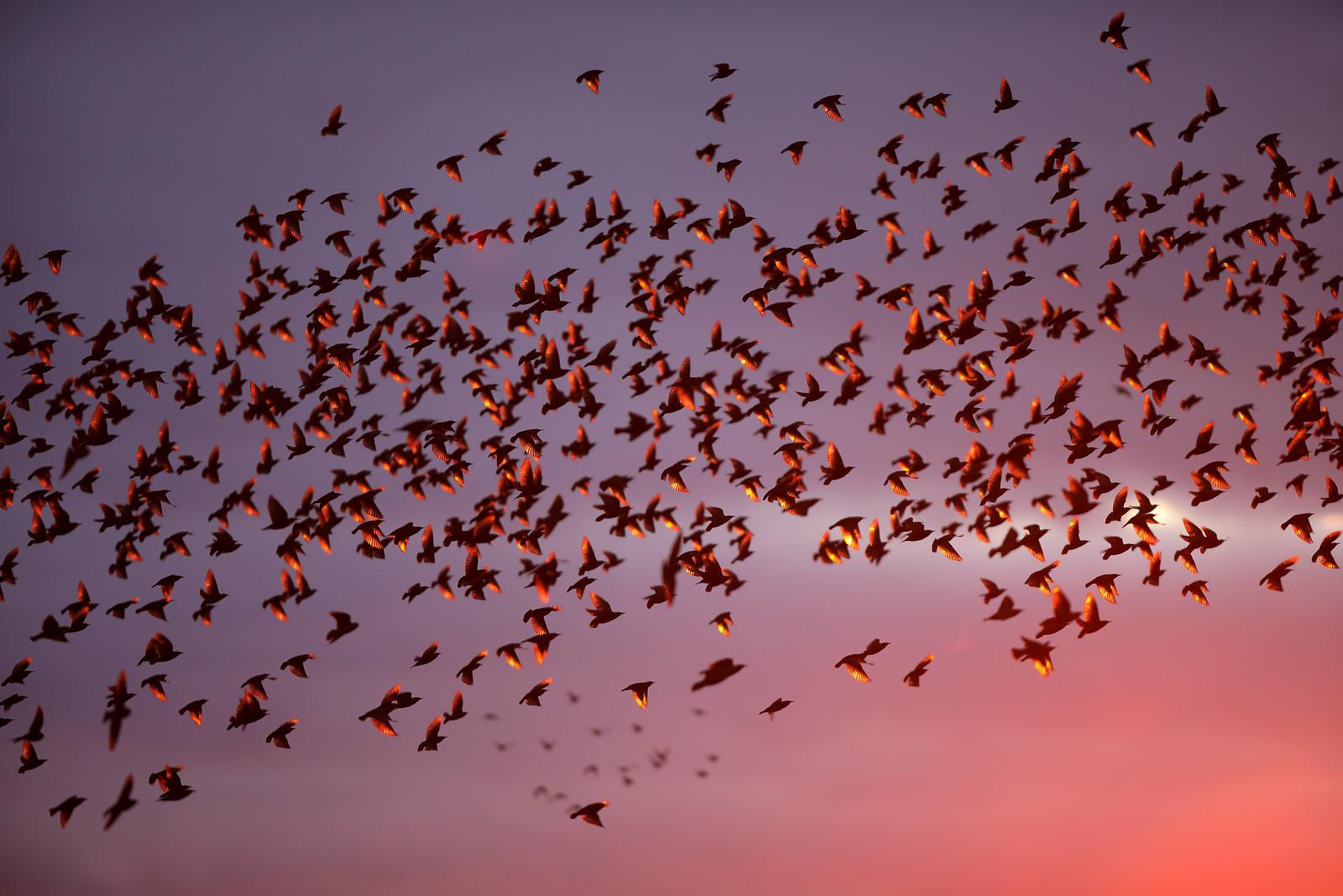 Iridescent Starling Murmuration