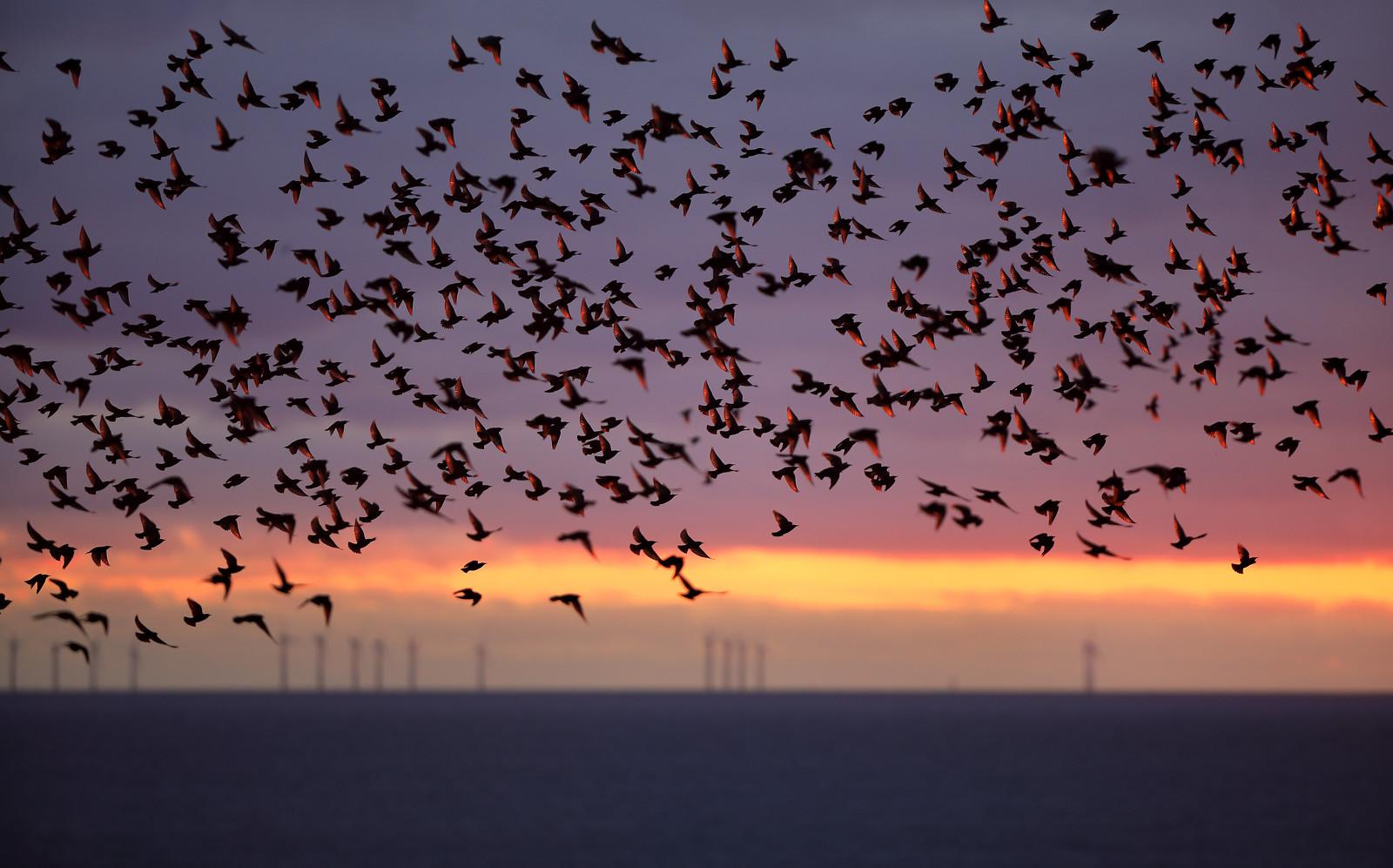 Iridescent Starling Murmuration and Rampion Wind Farm