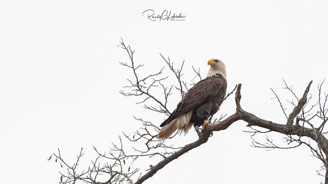 Bald Eagles of New Jersey   2020 - 1