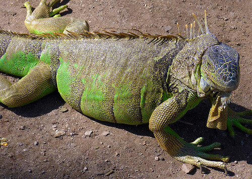 Iguanas in the 'Iguanario' in Manzanillo, Mexico. The males are orange, the females green