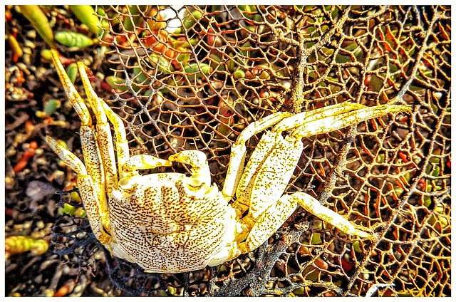 Crab on sea lace