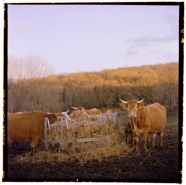 La vie privée des vaches