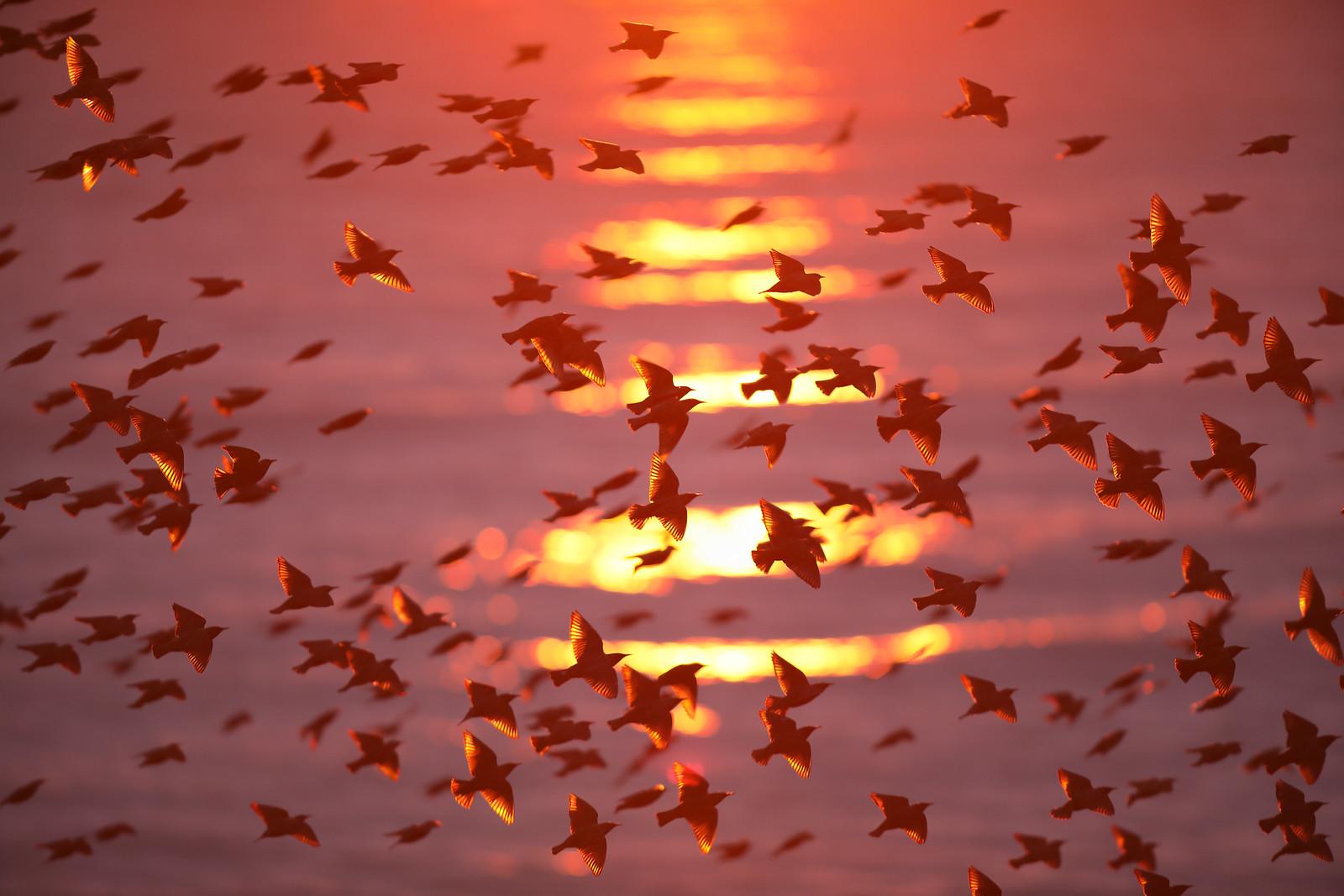 Iridescent Starling Murmuration at Sunset