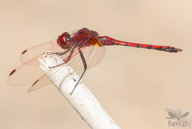 Red-Veined Dropwing -Trithemis arteriosa