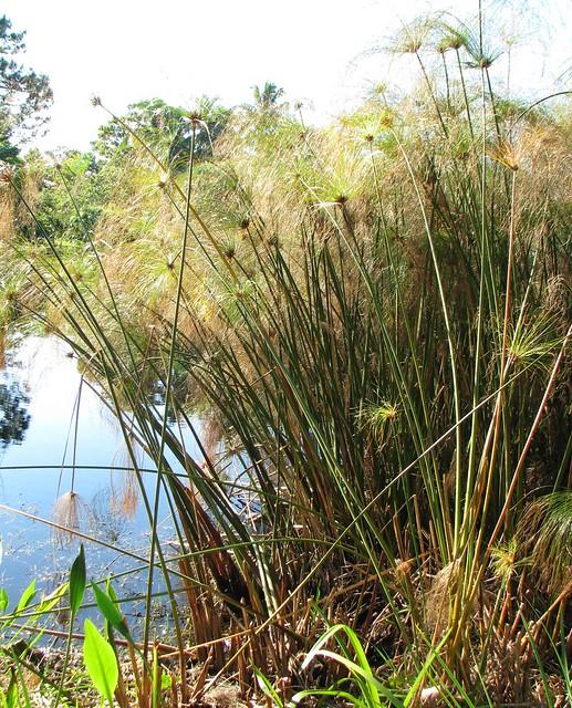 Cyperus papyrus --  Papyrus 1392
