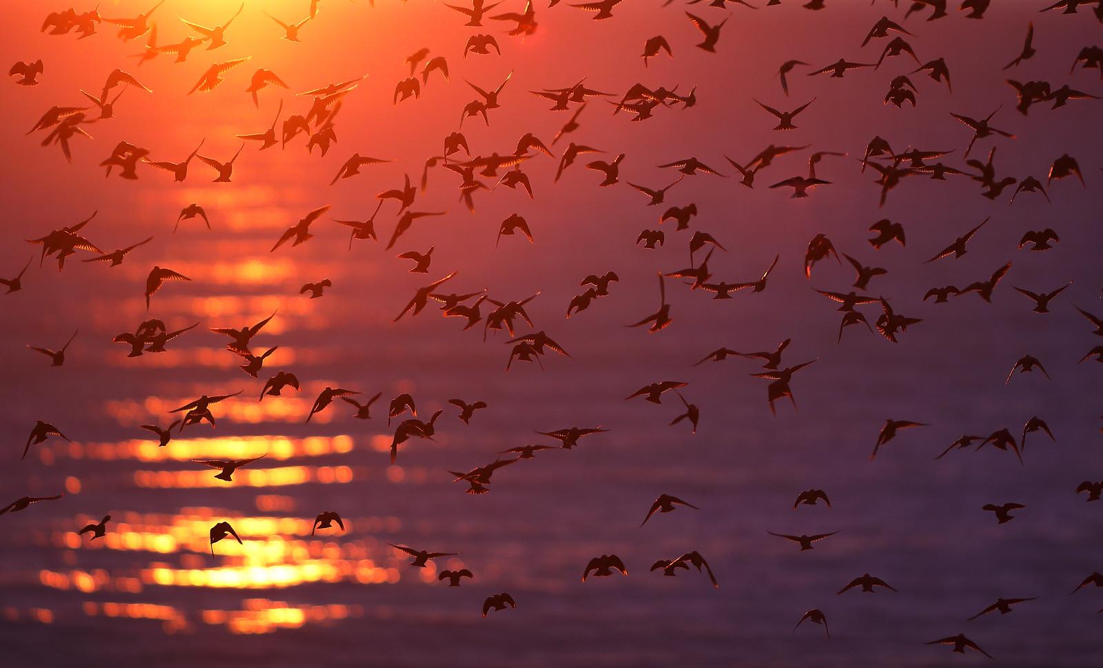 Iridescent Starlings