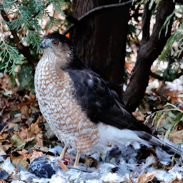 Hawk No. 2, Early Winter Kill / Faucon No. 2, proie tuée au début de l'hiver