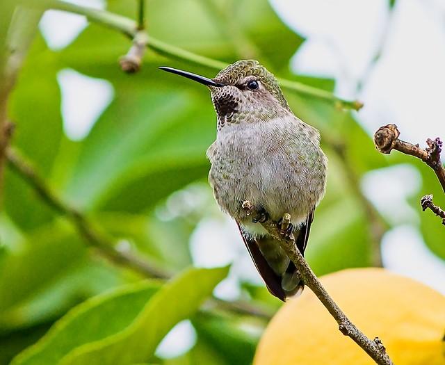 Anna's Humminbird in Lemon Tree