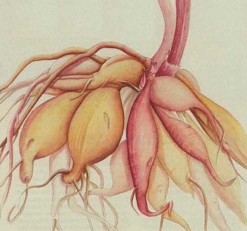 Dahlia Roots