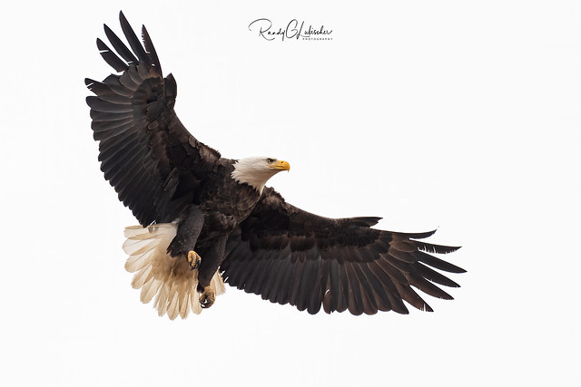 Bald Eagles of New Jersey | 2020 - 2