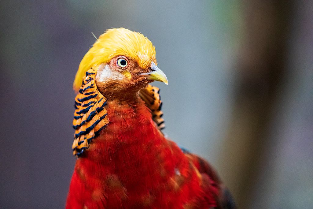 Image: Golden Pheasant
