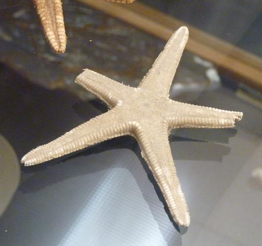 Astropecten articulatus 49365406543_2f5a5bc6c5_o