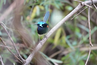 Red-winged Fairy Wren | by jdf_92