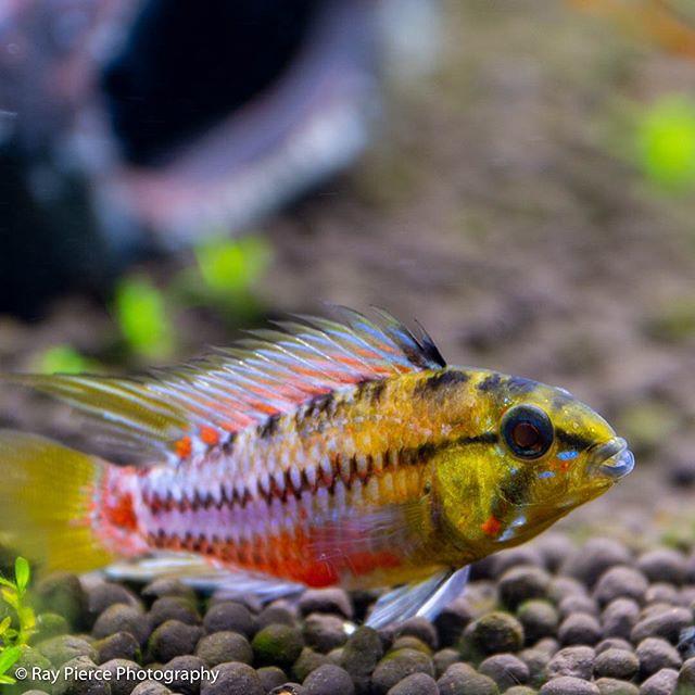 My #hongsloi #aquatektropicalfish #aquarium #fish #aquariumfish #apistogramma #apistogrammahongsloi #apistogrammas